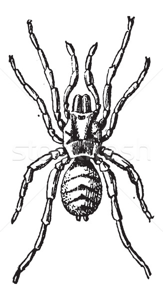 Tarantula or Theraphosidae, vintage engraving Stock photo © Morphart