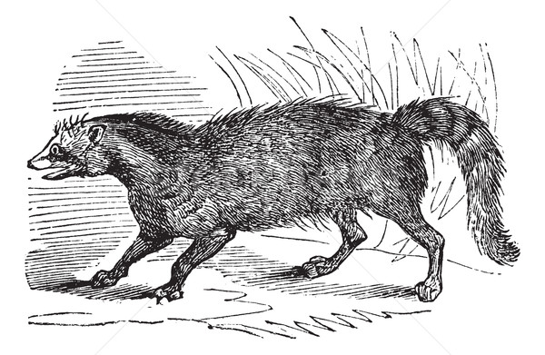 Civet or Viverridae vintage engraving Stock photo © Morphart