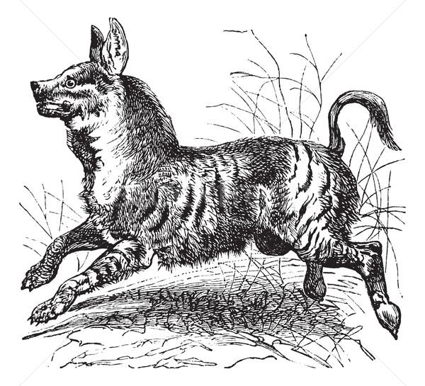 Striped Hyena or Hyaena hyaena vintage engraving Stock photo © Morphart