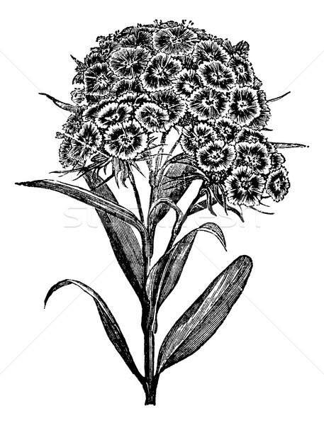 Carnation Barbu (Dianthus barbatus) or Sweet William. vintage en Stock photo © Morphart