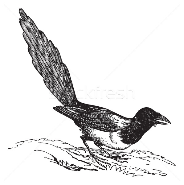 Black-billed Magpie (Pica hudsonia), vintage engraving. Stock photo © Morphart