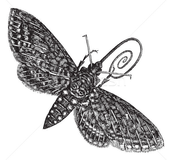 Hawk-Moth or Sphinx quinquemaculatus vintage engraving Stock photo © Morphart