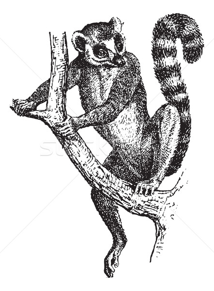 Ring-tailed Lemur or Lemur catta, vintage engraving Stock photo © Morphart