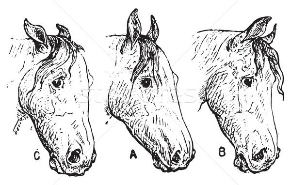 Cavallo orecchie vintage inciso illustrazione Foto d'archivio © Morphart