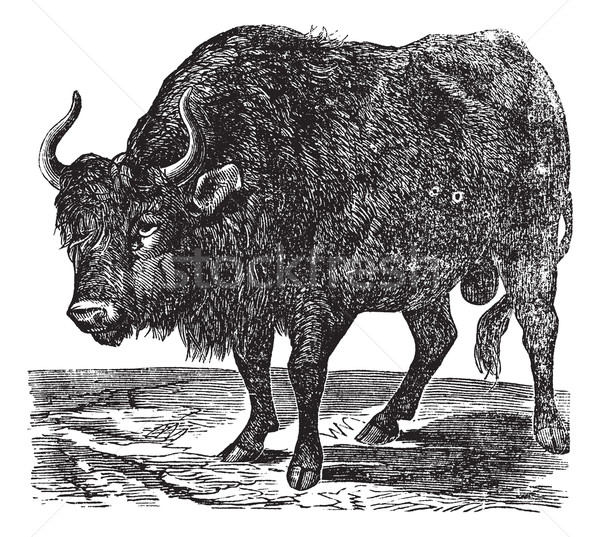 The American bison or American buffalo. Vintage engraving. Stock photo © Morphart
