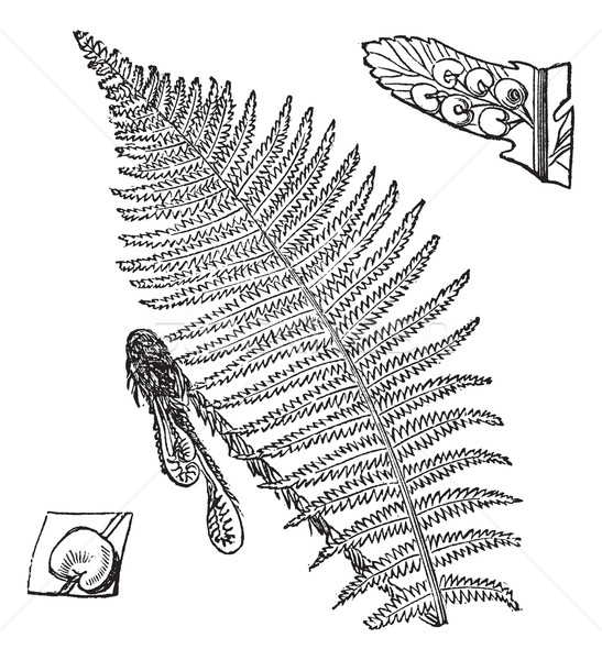 Fern, vintage engraved illustration Stock photo © Morphart