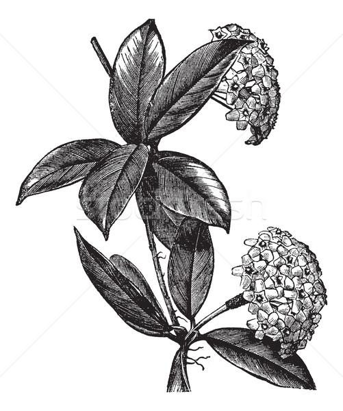 Viasz növény klasszikus vésés öreg gravírozott Stock fotó © Morphart
