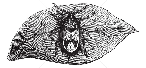 Rhyparochromidae or Seed bug vintage engraving Stock photo © Morphart