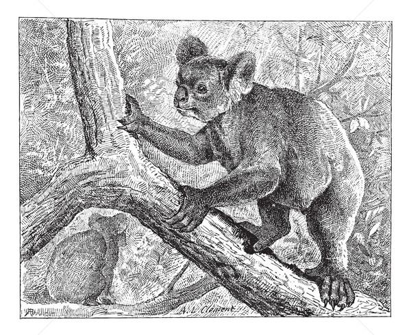 Koala vintage grabado ilustración diccionario Foto stock © Morphart