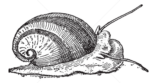 Nerite or Neritidae, vintage engraving Stock photo © Morphart
