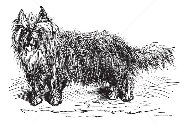Skye Terrier or Canis lupus familiaris vintage engraving Stock photo © Morphart