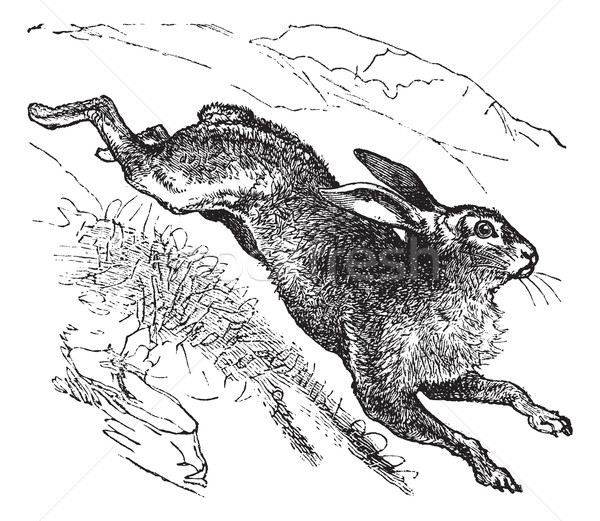 Mountain Hare (Lepus timidus) or Blue Hare vintage engraving Stock photo © Morphart