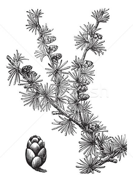 Tamarack (Larix Americana) or Hackmatack, vintage engraving Stock photo © Morphart