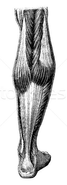 Human Leg, vintage engraving Stock photo © Morphart