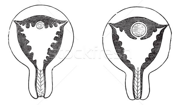 Stock photo: Fig. 961. Arrival of the egg on the uterine mucosa congested, Fi