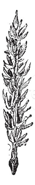 римской кориандр Vintage листьев Сток-фото © Morphart