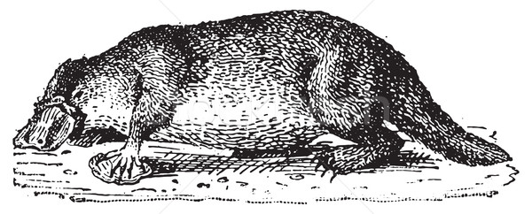 Platypus, vintage engraving. Stock photo © Morphart