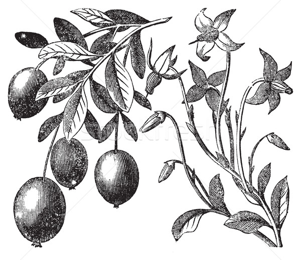 Stock photo: Cranberry vintage engraving