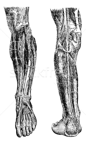 Human Leg, vintage engraving Stock photo © Morphart