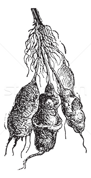 Jerusalem artichoke (Helianthus tuberosus) or sunroot, vintage e Stock photo © Morphart