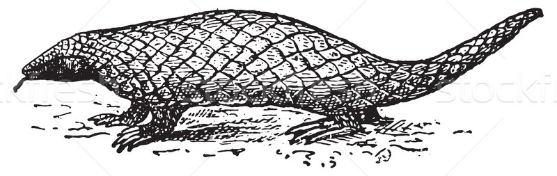 Pangolin or Scaly Anteater, vintage engraving. Stock photo © Morphart