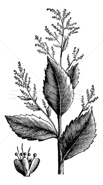 Chenopodium anthelminticum or Wormseed Goosefoot vermifuge plant Stock photo © Morphart