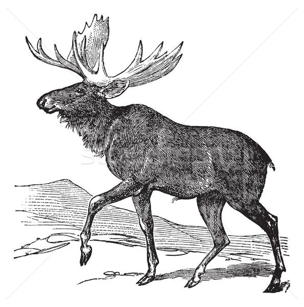 Moose or Eurasian Elk or Alces alces, vintage engraving Stock photo © Morphart
