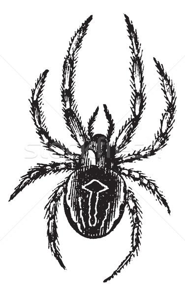 Common Orb-weaving Spider or Common Epeira or Araneus sp., vinta Stock photo © Morphart
