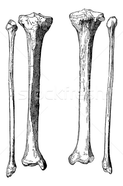 Leg Bones, vintage engraving Stock photo © Morphart