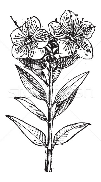 Common Myrtle or Myrtus communis, vintage engraving Stock photo © Morphart