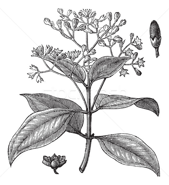 Cinnamomum verum or True cinnamon vintage engraving Stock photo © Morphart