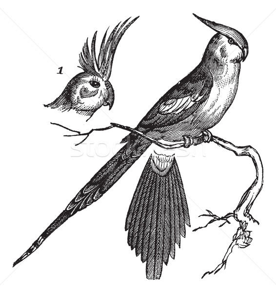 Cockatiel or Quarrion or Weiro or Nymphicus hollandicus, vintage Stock photo © Morphart