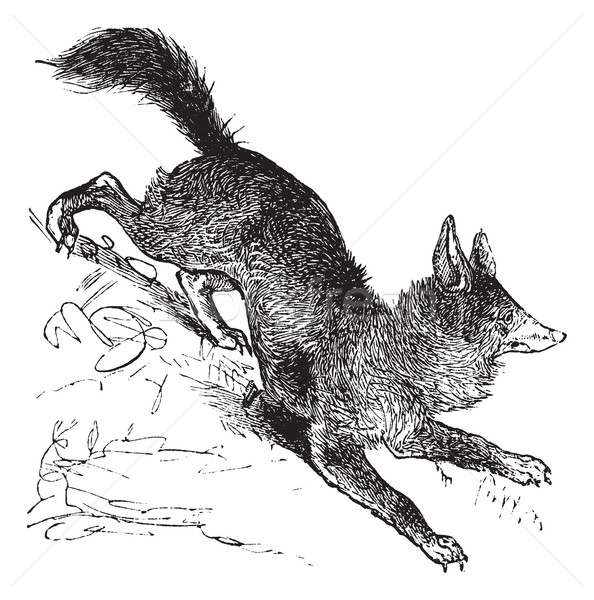 Red Fox or Vulpes vulpes vintage engraving Stock photo © Morphart