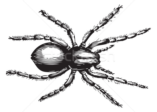 волка Spider больше название паукообразный семьи Сток-фото © Morphart