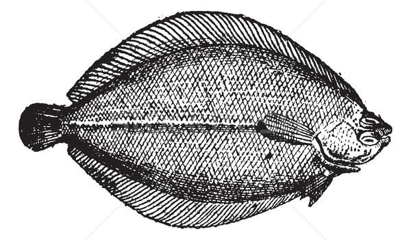 Rhombus or Brill, vintage engraving. Stock photo © Morphart