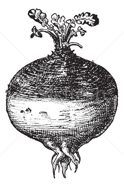 Stock photo: Rutabaga or Swede, vintage engraving.
