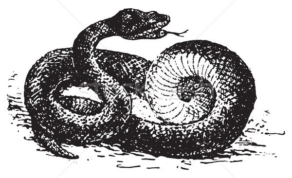 Stock photo: Vipera aspis, vintage engraving.