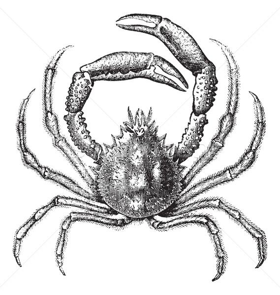 European spider crab or Maja squinado vintage engraving Stock photo © Morphart