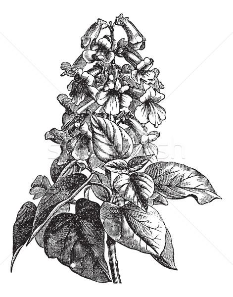 Vintage wyryty ilustracja encyklopedia kwiat Zdjęcia stock © Morphart