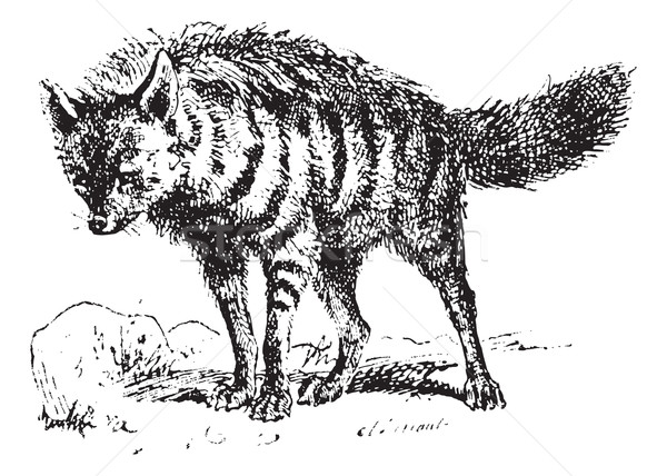 Aardwolf or Proteles cristata, vintage engraving. Stock photo © Morphart