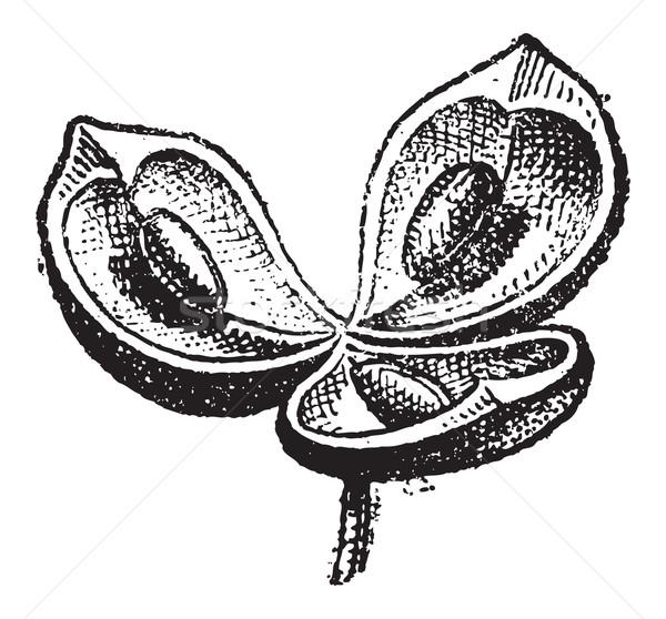Bağbozumu oyma botanik oyulmuş örnek sözlük Stok fotoğraf © Morphart