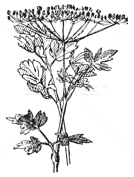 Parsley or Garden parsley, vintage engraving. Stock photo © Morphart