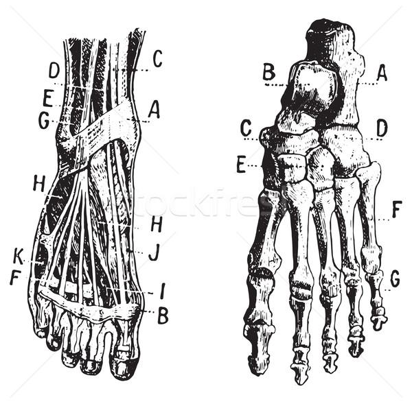 Foot, Fig 1. Muscles, Fig 2. Skeleton, vintage engraving. Stock photo © Morphart