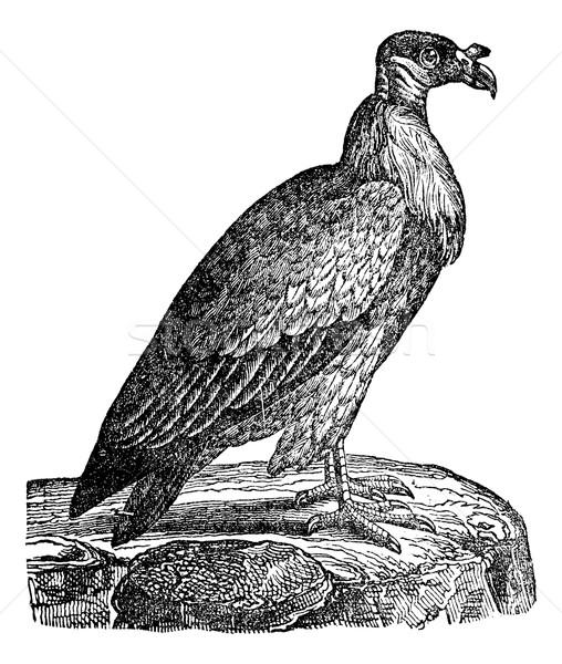 гриф Vintage иллюстрация птица Сток-фото © Morphart