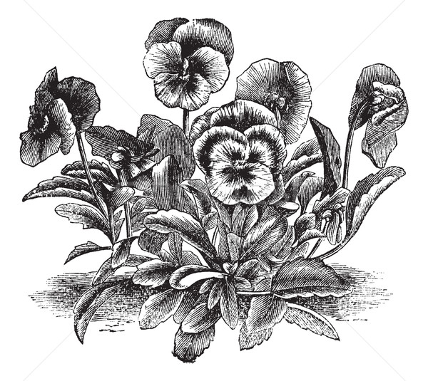 Heartsease or Viola tricolor vintage engraving Stock photo © Morphart