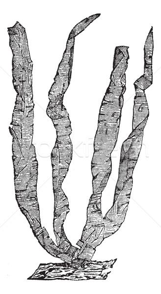 морские водоросли Vintage иллюстрация энциклопедия Сток-фото © Morphart