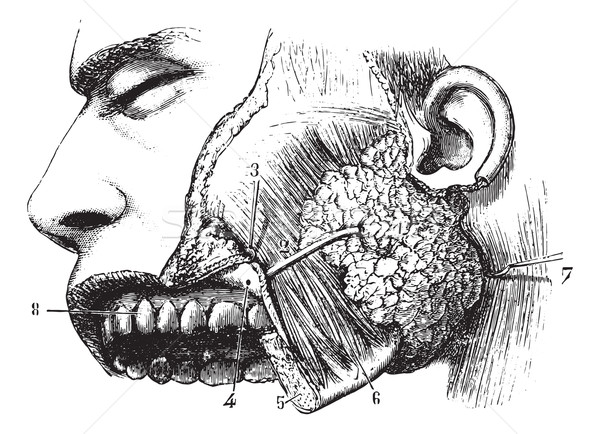 Parotid gland and duct Steno, vintage engraving. Stock photo © Morphart