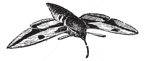 Sphinx moth or  Hawk moth, vintage engraving. Stock photo © Morphart