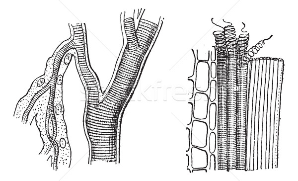 Insect trachea and tracheae plant, vintage engraving. Stock photo © Morphart