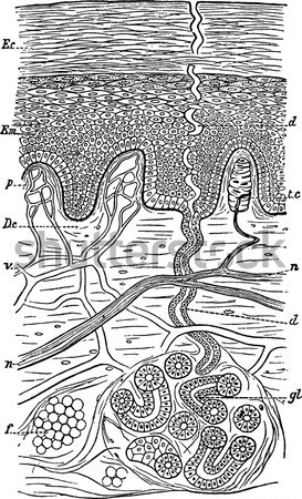 Nest of the Leafcutter Bee or Megachile sp., vintage engraving Stock photo © Morphart